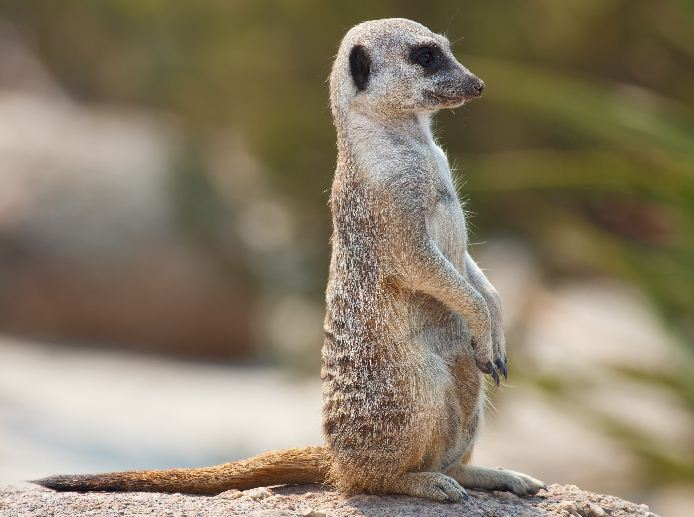 Meerkat o Suricata